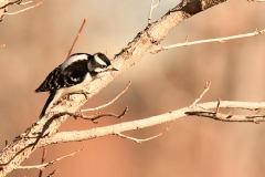 Downy Woodpecker (c) David Chernack