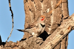 Northern Flicker (c) David Chernack