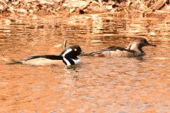 Hooded Mergansers (c) David Chernack