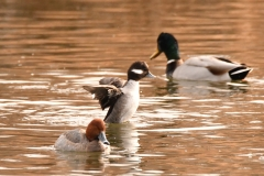 South Platte Ducks (c) David Chernack