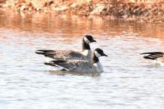 Cackling Goose (c) David Chernack