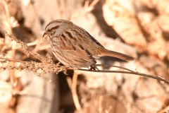 Song Sparrow (c)