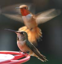 Two Hummingbirds vie for rights at a backyard feeder.