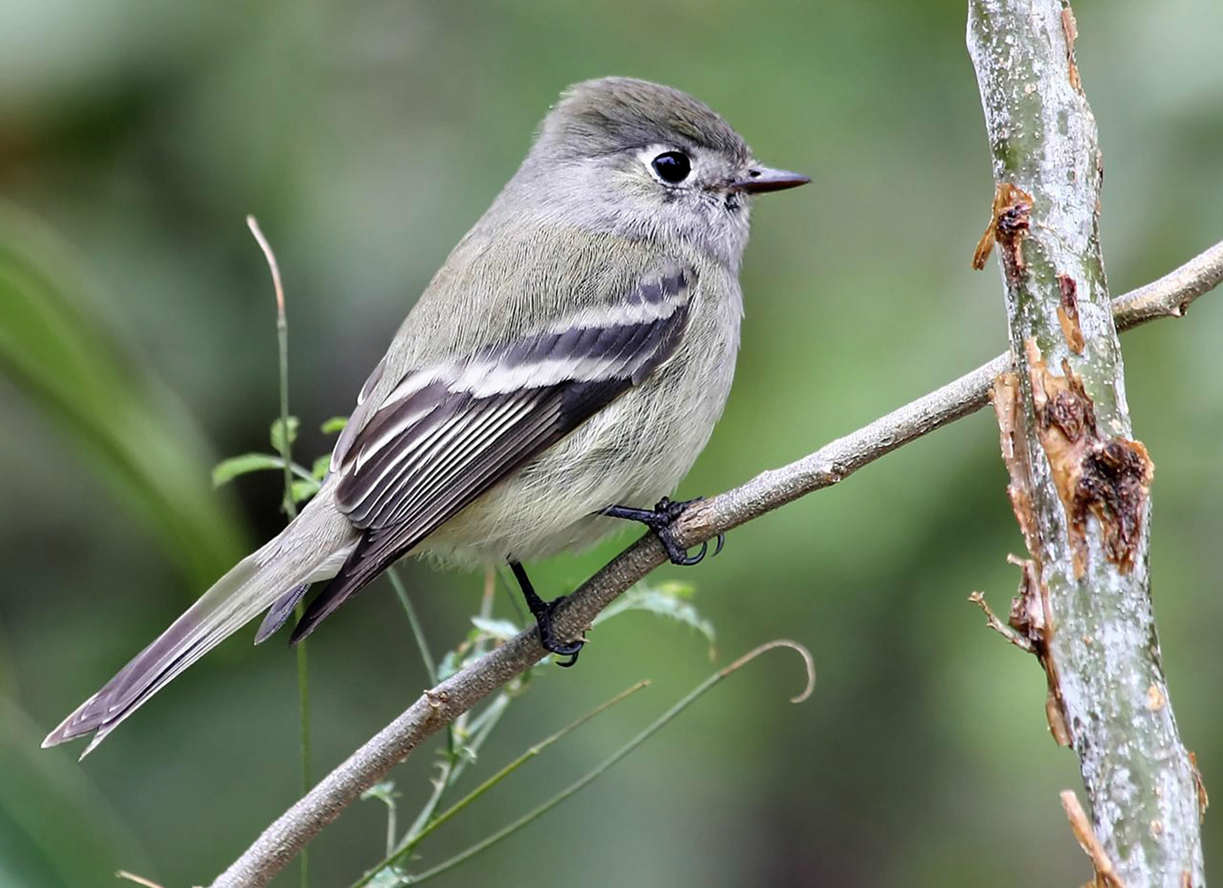 Hammond's_Flycatcher_PabloLeautaud_FlickrCC-314