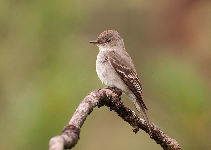 dusky-flycatcher (1)