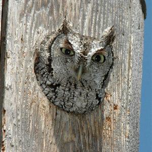 Kestrel/Screech Owl
