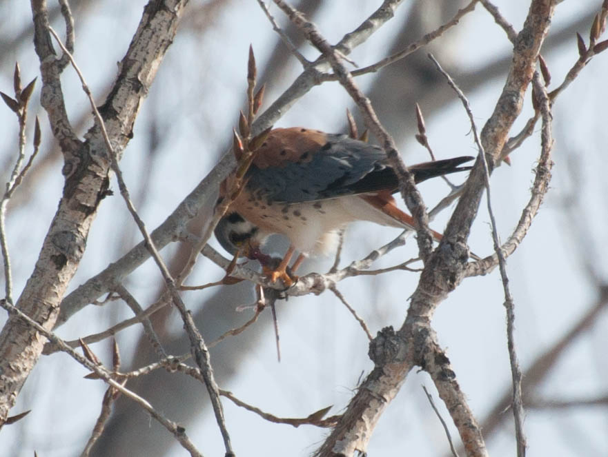 A male American Kestrel eating a mouse (c) Jamie Simo