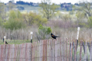 Red-winged Blackbird male with Common Grackle male in background at far left.