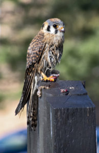 American Kestrel female with prey